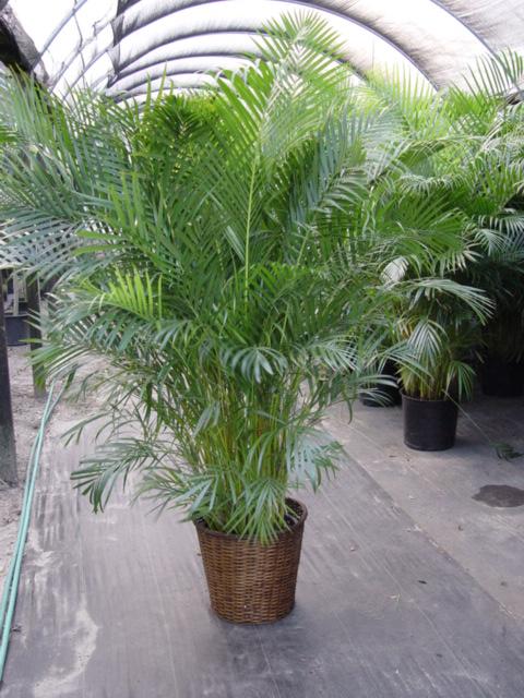 Пальма арека в домашних условиях