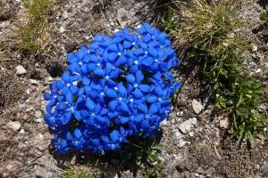 Горечавка Spring Gentian