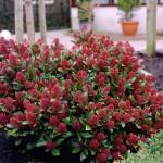 Скимия japonica Rubella