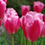 Jumbo Pink