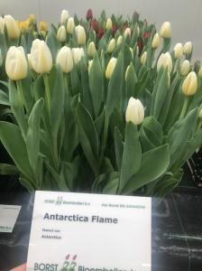 ANTARCTICA FLAME