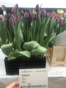 PITBULL (2)