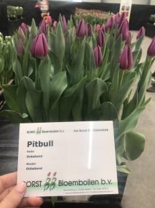 PITBULL (3)